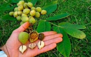 Настойка маньчжурского ореха